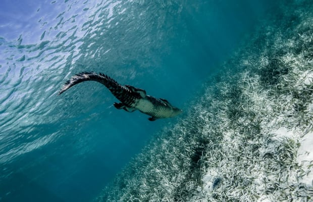 Daredevil Photographer Swam With Crocodiles and Took Amazing Images